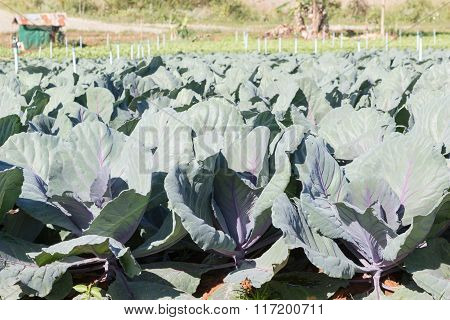 Freshly Harvested Cabbage,young Purple Cabbage In Garden