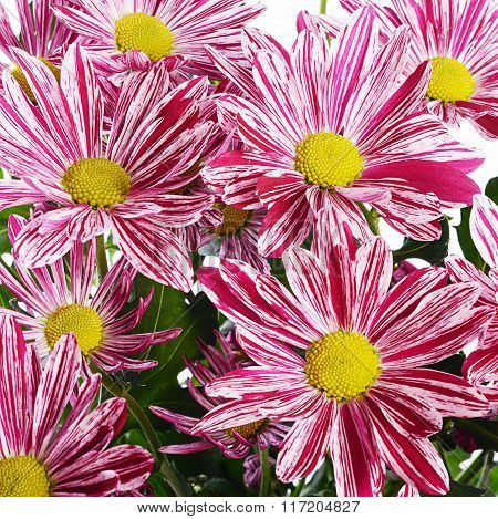 Flower Pink Chrysanthemums