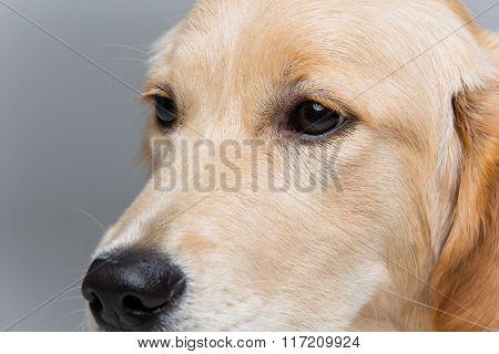 Young beautiul golden retriever dog