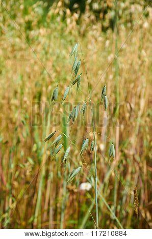 Green Stem Of Unripe Oat