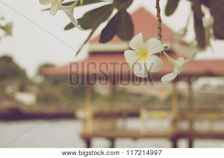 White And Yellow Plumeria In Vintage Style