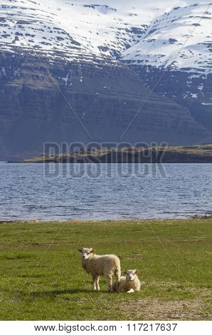 Pair Of Lambs On A Field Of Grass In Iceland