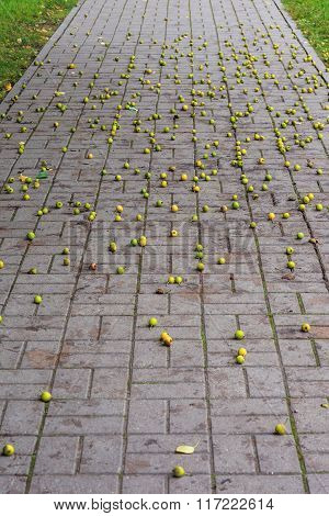 Wild apples fall on the road