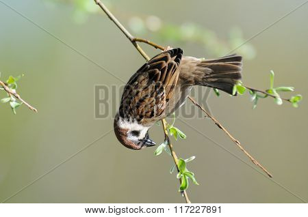 Tree Sparrow Hangs Upside Down At Thin Tree Branch