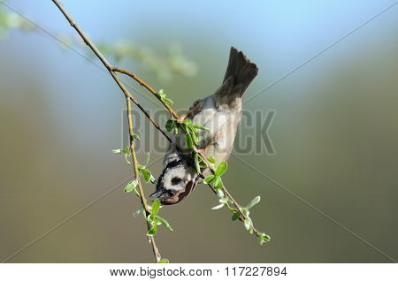 Tree Sparrow Hangs At Thin Tree Branch Upside Down