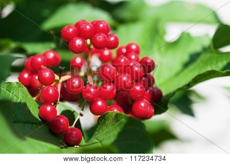 Bunch Of Red Viburnum