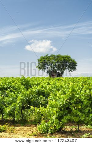 Vineyard At Summer In Languedoc-roussillon