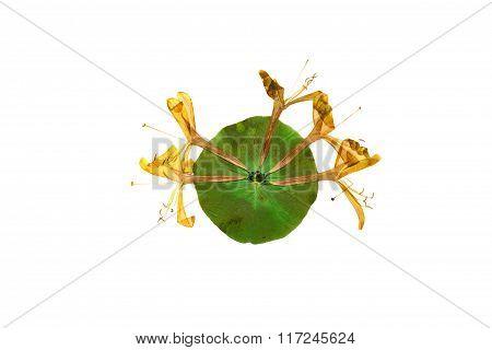 Pressed And Dried Flower  Honeysuckle (lonicera).