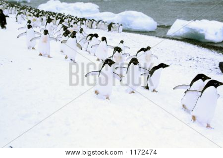 March Of The Penguins; Adelie Penguins