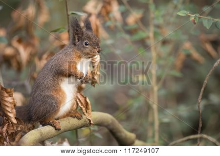 Red Squirrel, Sciurus Vulgaris, On A Branch