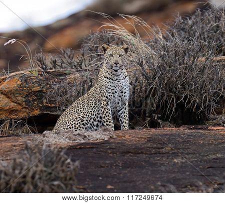 Leopard Tsavo