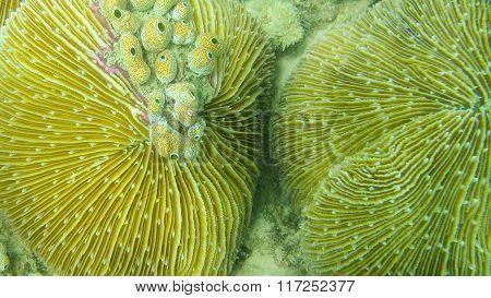 Couple of mushroom coral