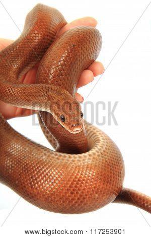 Rainbow Boa Snake