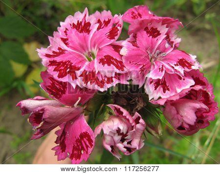 Pink dianthus barbatus