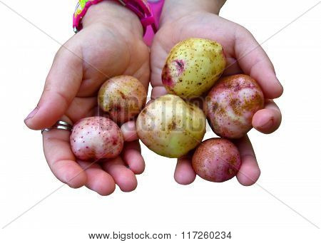 Childish Hands With Potatoes Isolated