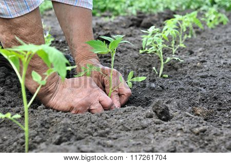 Senior Woman Planting A Tomato Seedling