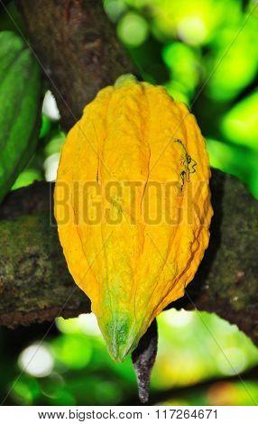 Yellow Cocoa Fruit
