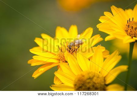 Bee Flying From Flower To Flower And Pollinate