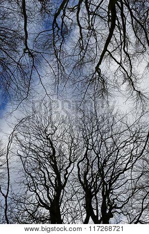 Winter Woodland Canopy