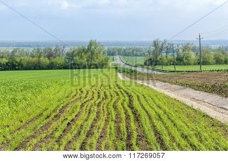 Spring Field With Green Shoots Of Wheat