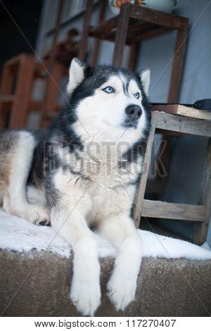 Husky Dog In The Yard
