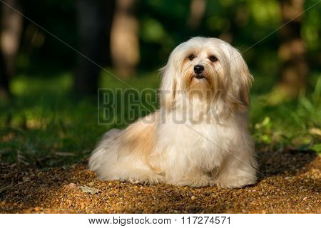 Beautiful Young Havanese Dog Is Sitting On A Sunny Forest Path