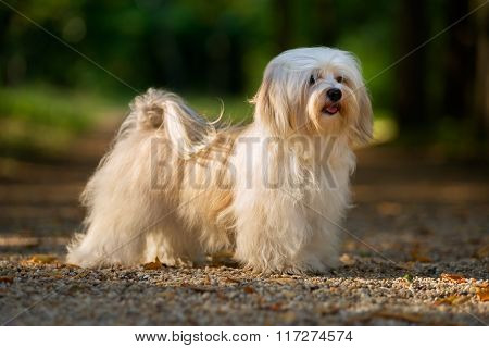 Beautiful Young Havanese Dog Is Standing On A Sunny Forest Path