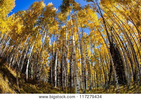 Aspen Grove In Autumn Fisheye