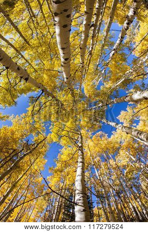 Vertical Aspen Grove In Autumn