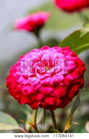 Red rose of brightly colored flower drenched with water.