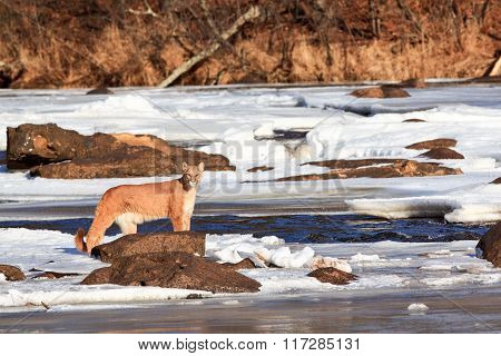 Mountain Lion standing by stream