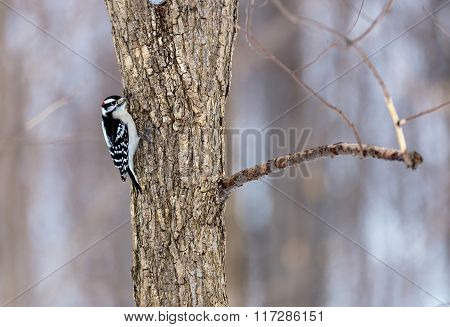 Downey Woodpecker.