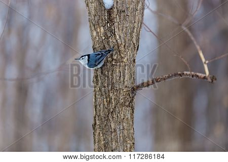 White Breated Nuthatch.