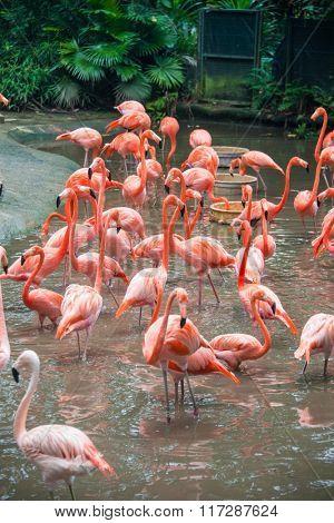 Flamingo birds in the pond