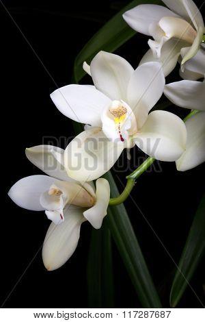 Orchid Flowers Over Black (cymbidium Sp)