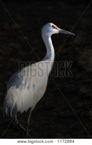 Sandhill Crane With Black Background Pct4353