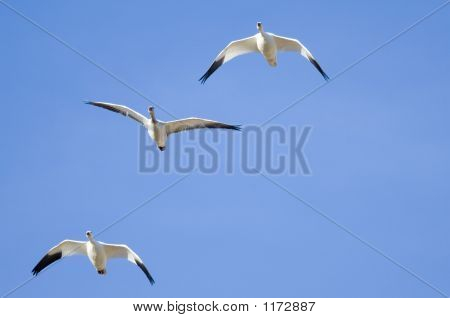Snowgeese In Flight Pct4580