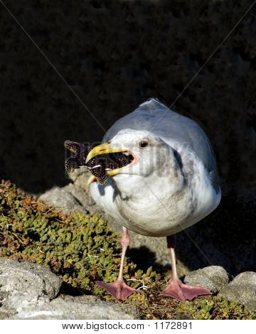 Western Gull With Starfish Pct5633