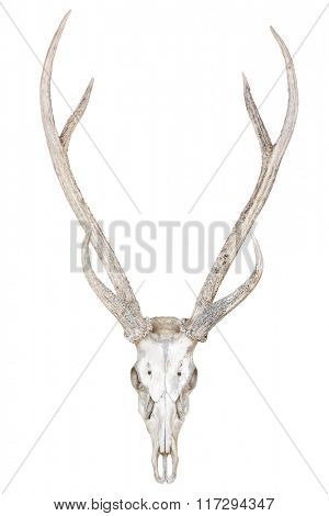 Deer skull isolated on white background