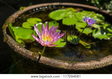 Beautiful water lily flower in a stone water pot