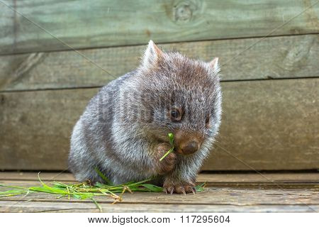 Little Wombat eating