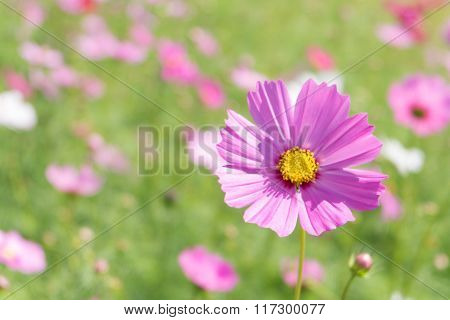 Pink Cosmos Flower With Blur Background (bright Soften Style)