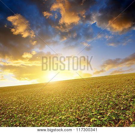 Field of Silybum marianum