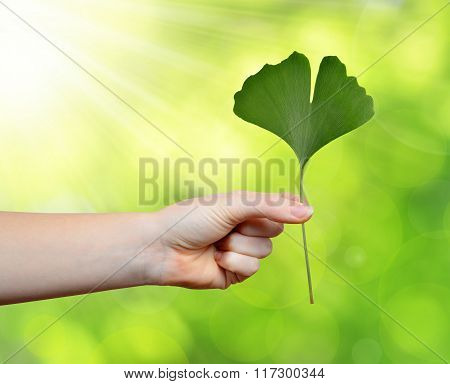 Hand holding ginkgo biloba leaf