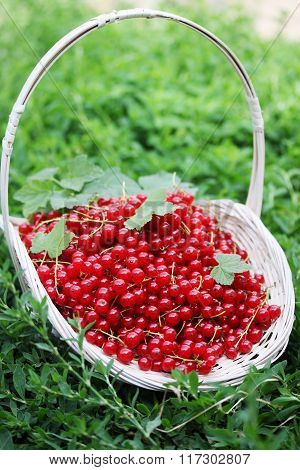red currants on the grass
