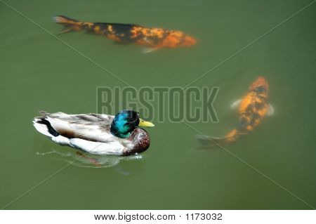 Ducks In A Pond With Koi