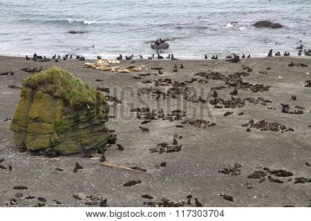 Rookery Of Northern Fur Seals And Sea Lions In The Bering Island
