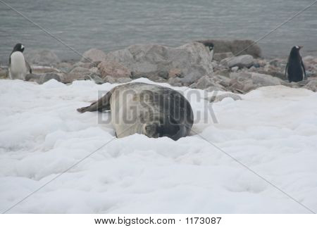Weddell Seal & Gentoo Penguins