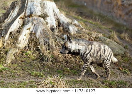 Striped Hyena (hyaena Hyaena)