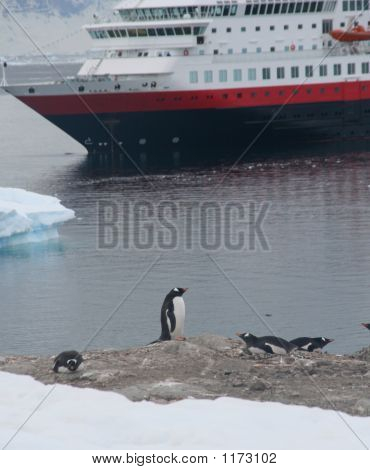 Gentoo Penguin, With Cruise Ship